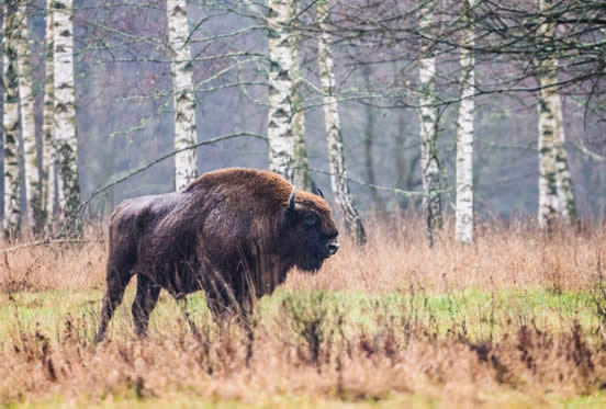 bison against birches