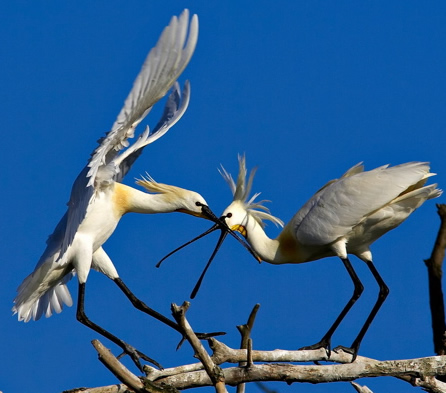 Fight for your life - spoonbills