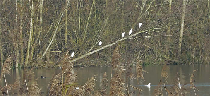 5 little egrets