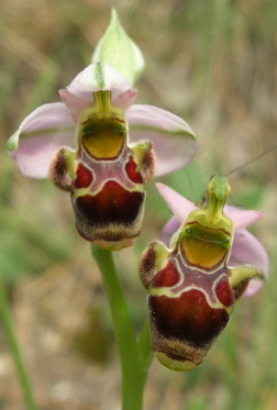 woodcock orchids