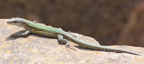 Andalusian Wall Lizard at Bolonia
