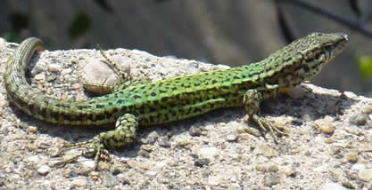Andalusian wall lizard
