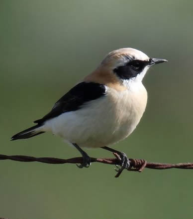Black-eared wheatear (Rob Carr)