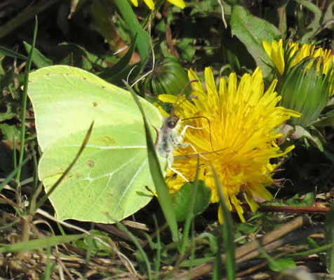 brimstone on dandelion ( Derek Longe)