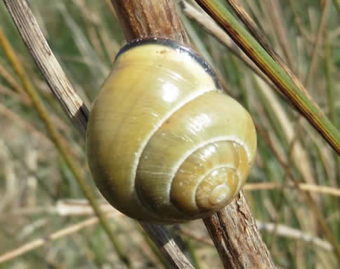 brown-lipped snail Cepaea nemoralis
