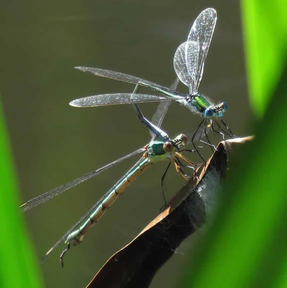 Common Emerald male and Willow Emerald female (Derek Longe)