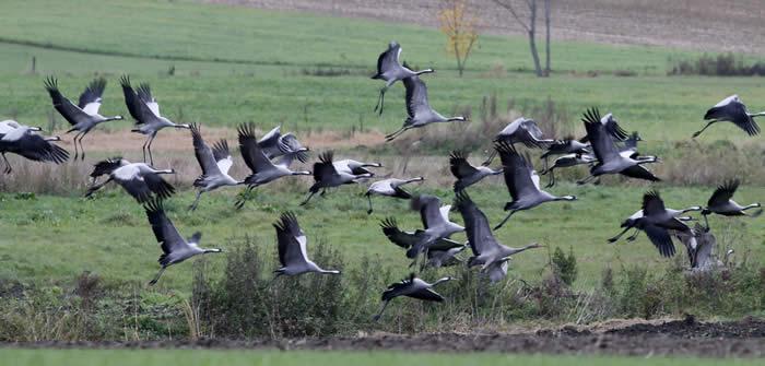 cranes in Poland, October 2017