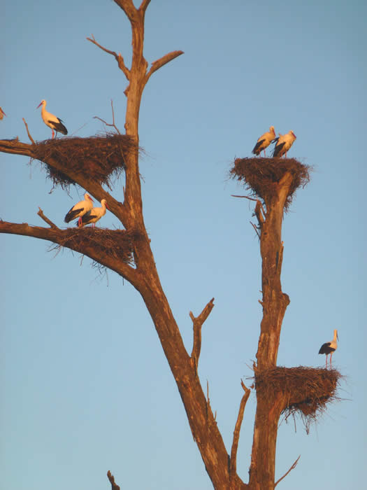 white stork nests at Finca Santa Marta