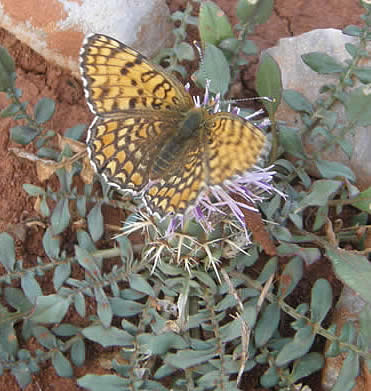 Eastern Knapweed Fritillary (Helen Crowder)