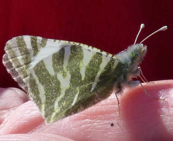 Green-striped white