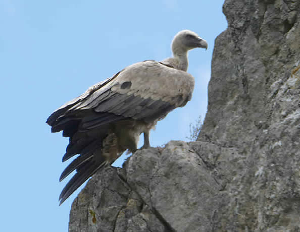 Griffon vulture in Binies gorge