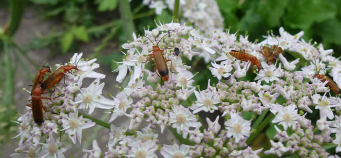 Common red soldier beetles, also known as hogweed bonking beetles, 4 July.