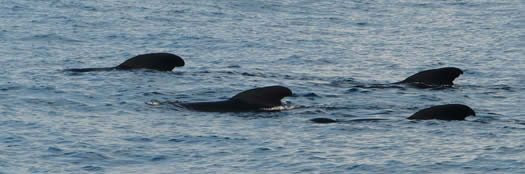 long-finned pilot whales
