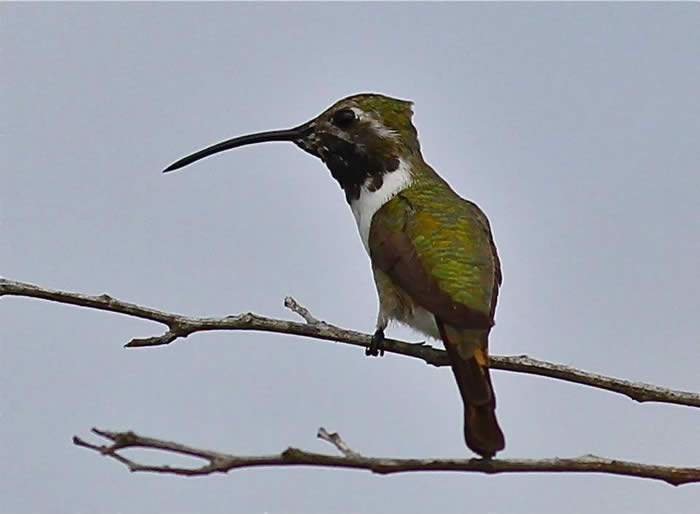 Mexican Sheartail Hummingbird, male