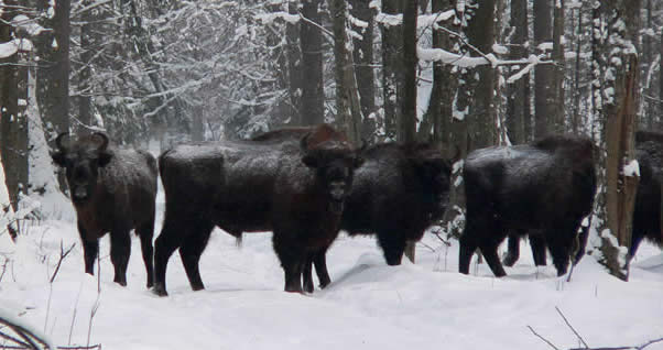 bison in Poland