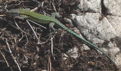Andalusian wall lizard (Peter Burge)