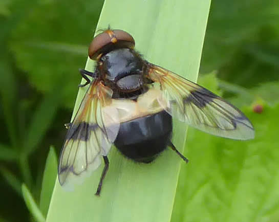 Great pied hoverfly Volucella pellucens