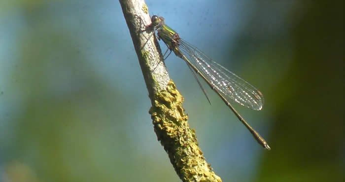 willow emerald, 13 September 2019