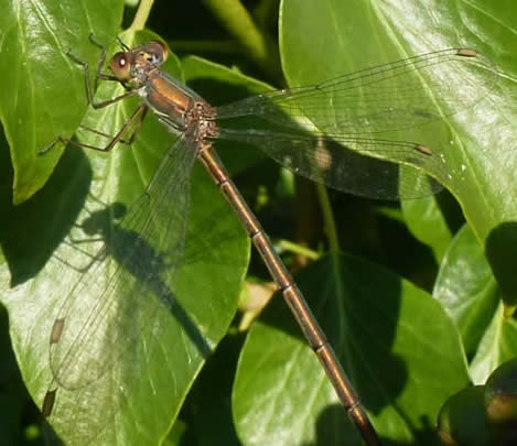 Willow Emerald on ivy, 6 November 2017