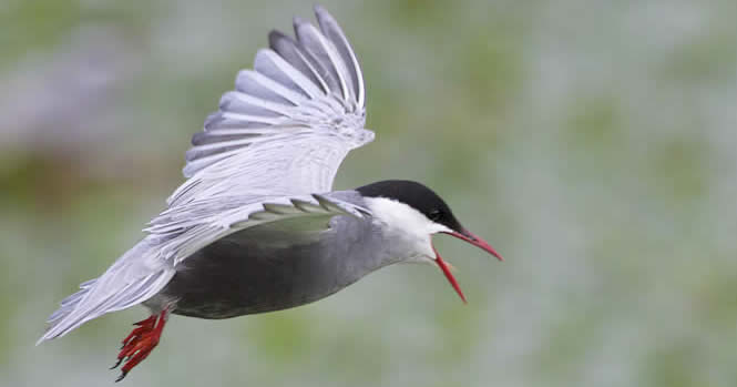 whiskered tern (John Long)