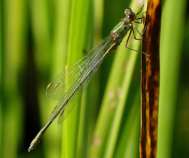 Willow Emerald Damselfly, NWT Thorpe Marshes