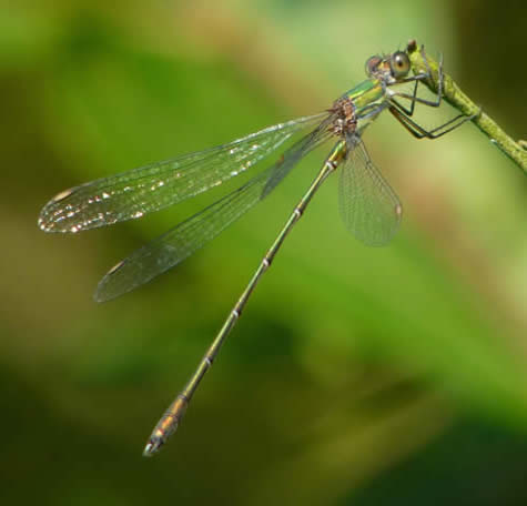 Willow Emerald damselfly, Thorpe Marshes