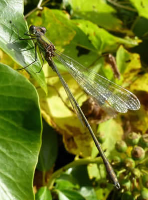 Willow Emerald on ivy