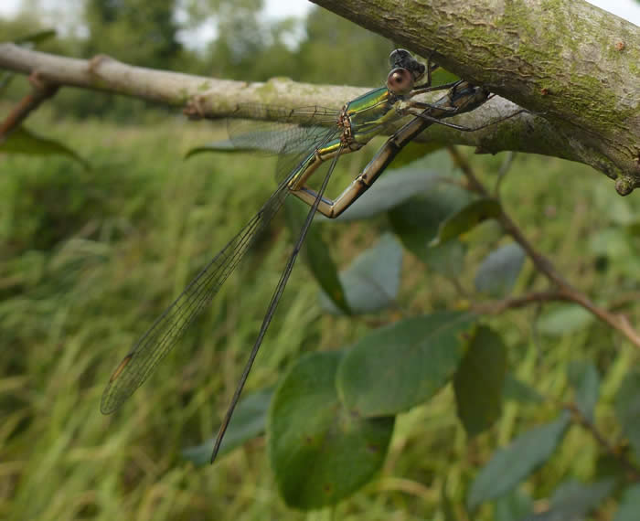 willow emerald, egg laying into a willow