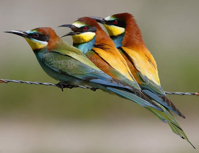 bee-eaters (Steve Fletcher)