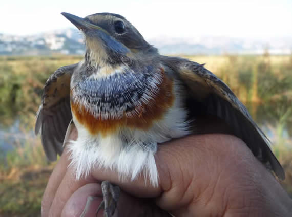 ringed bluethroat in Valencia