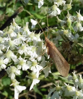 Caddis fly  on hogweed