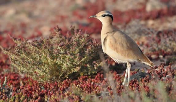 cream-coloured courser (David Collins)