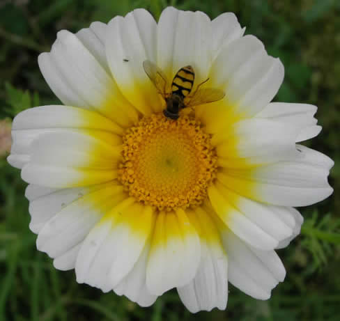 crown daisy with hoverfly