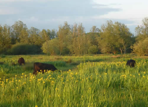 irises and cattle