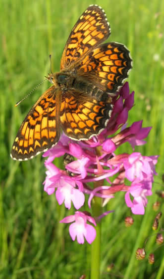 Pyramidal orchid with knapweed fritillary