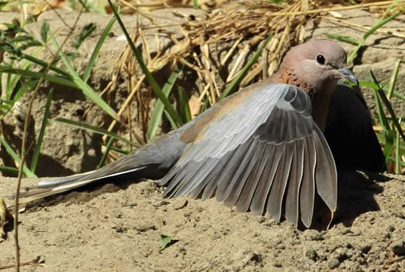 Laughing dove (Brennan Aunger)