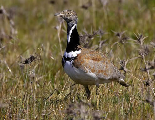 little bustard (Steve Fletcher)