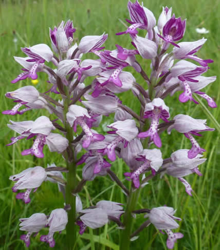 military orchids