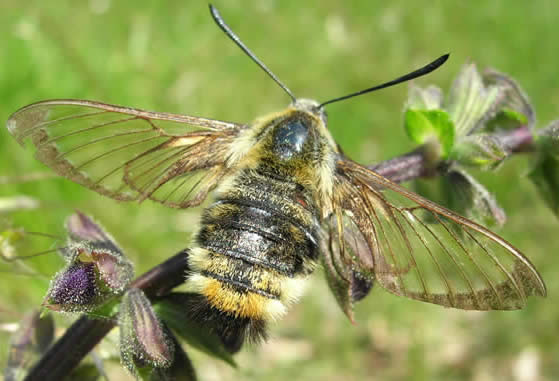narrow-bordered bee hawkmoth
