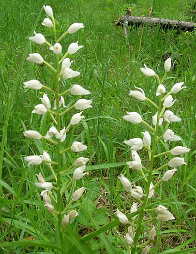 narrow-leaved helleborine