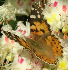painted lady on horse chestnut