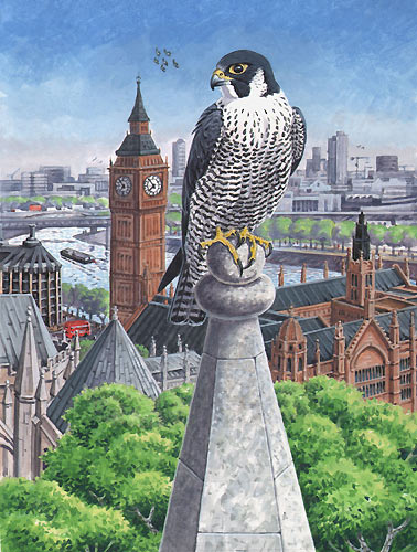 London peregrine by Richard Allen