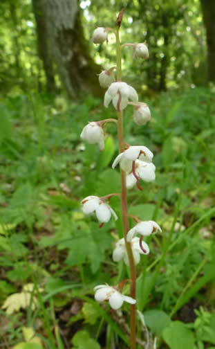 round-leaved wintergreen