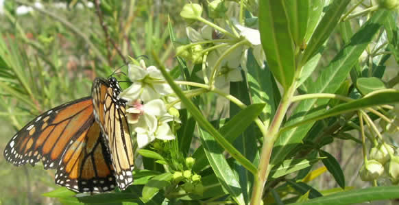 silkweed with Monarch