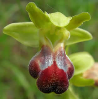 sombre bee orchid