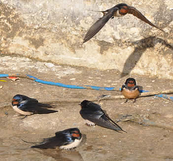 swallows in Plakias (David Collins)