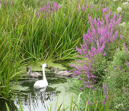 swans with purple loosestrife