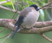 Urgent International support sought for Azores Bullfinch