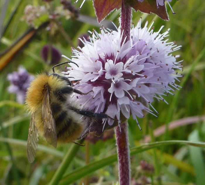 water mint with common carder bee