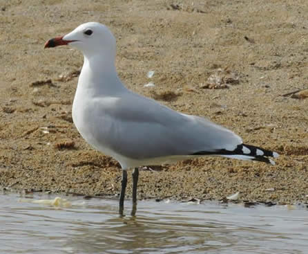 Audouin's gull (Chris Gibson)